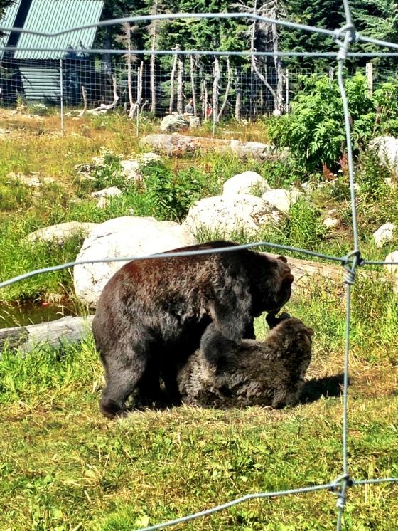 Os brincalhões Grizzly Bears