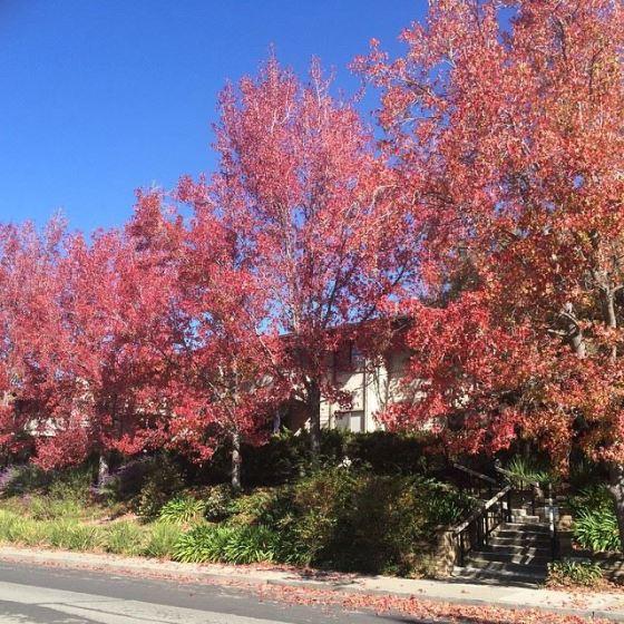 Árvores vermelhas! Mais lindo outono do mundo!